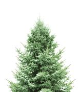 Stock Photo of pine for christmas