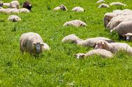 Stock Photo of sheep on the green grass