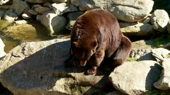 Rare Cinnamon colored Black Bear Stock Footage