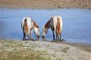 Stock Photo of white horses