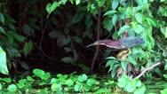 Mangrove Heron catching fish Stock Footage