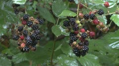 P02392 Black-berries on Rainy Day in Oregon Stock Footage
