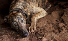 Retired greyhound taking a nap Stock Photos