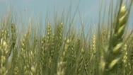 Stock Video Footage of Golden Wheat Moving Close Up
