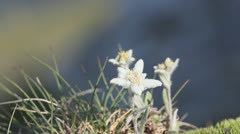 Edelweiss (Leontopodium alpinum) rare flowers growing on alpine top of mountains Stock Footage
