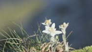 Stock Video Footage of Edelweiss (Leontopodium alpinum) rare flowers growing on alpine top of mountains