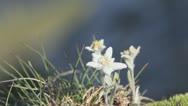 Edelweiss (Leontopodium alpinum) rare flowers growing on alpine top of mountains Stock Footage