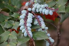 Pale Turquoise Berries Surrounded by Green Leaves Stock Photos