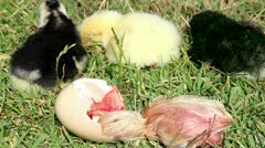 Chick hatching and one day old cihcks Stock Footage