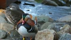 Sleepy mandarin ducks couple resting on shore Stock Footage