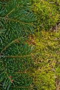 fir branches - stock photo