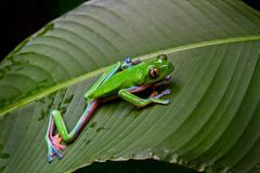 Blue-sided leaf frog-2 Stock Photos