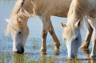 Stock Photo of drinking horses