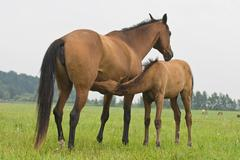 a brown foal suckling his mother - stock photo