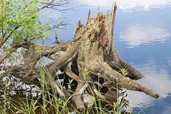 snag on a river coast, karelia, russia - stock photo