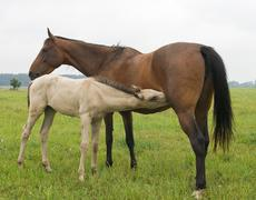 a white foal suckling a brown mare - stock photo