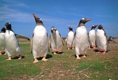 Gentoo penguins Stock Photos