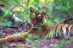 Bengal tiger (panthera tigris) Stock Photos
