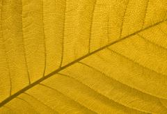 Close-up of a yellow autumn leaf in back-light Stock Photos