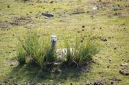 Cape barren goose breeding Stock Photos