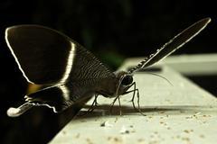 Jungle Moth Stock Photos