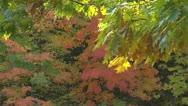 Autumn - tree - leaves - falling- wind 004 Stock Footage