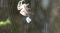 P02412 Spider at Web with Prey Stock Footage