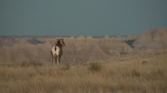 P02417 Bighorn Sheep Ram at Badlands National Park in South Dakota Stock Footage