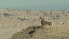 P02419 Bighorn Sheep Ram Resting on Knoll at Badlands NP Stock Footage