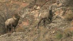 P02421 Bighorn Sheep Ram and Ewe Stock Footage