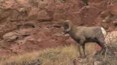 P02423 Bighorn Sheep Rams Chasing Ewe During Mating Season Stock Footage