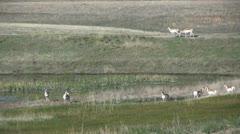 Pronghorns at Waterhole Stock Footage
