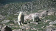 Mountain Goats Stock Footage