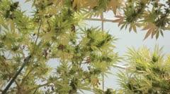 Medical Marijuana Plants 13 Stock Footage