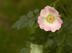 Dog rose in green blurry back Stock Photos