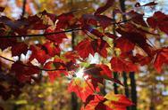 Sun shining through autumn leaves. Stock Photos