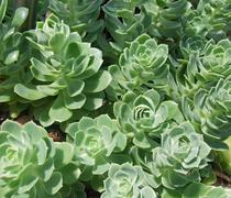 succulent plant detail - stock photo