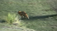 Red Fox Running - stock footage