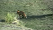 Red Fox Running Stock Footage