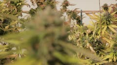 Medical Marijuana Plants 02 Stock Footage