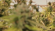 Stock Video Footage of Medical Marijuana Plants 02