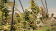 Stock Video Footage of Medical Marijuana Plants 03