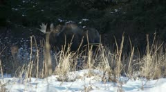 Bull Moose in Winter Forest Dappled Sunlight on Snow Stock Footage