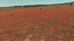 Field of  Namaqualand red daisies Stock Footage