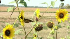 Monarch Butterfly on Sunflower Flies Away Stock Footage