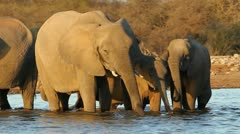 African elephants drinking water, Etosha National Park, Namibia - stock footage