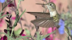 Broad-tailed hummingbird female stares at paparazzi Stock Footage