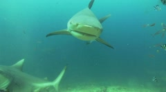 Bull Shark Stock Footage