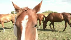 Pan of Horses in Pasture Stock Footage