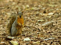 squirrel standing at the alert - stock photo